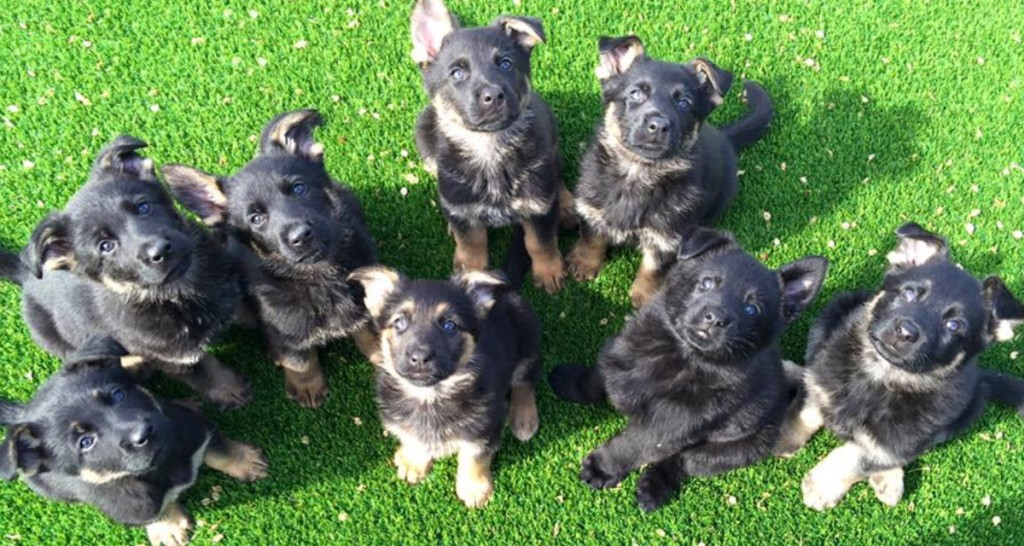 German Shepherd Protection Dogs For Sale Cheap