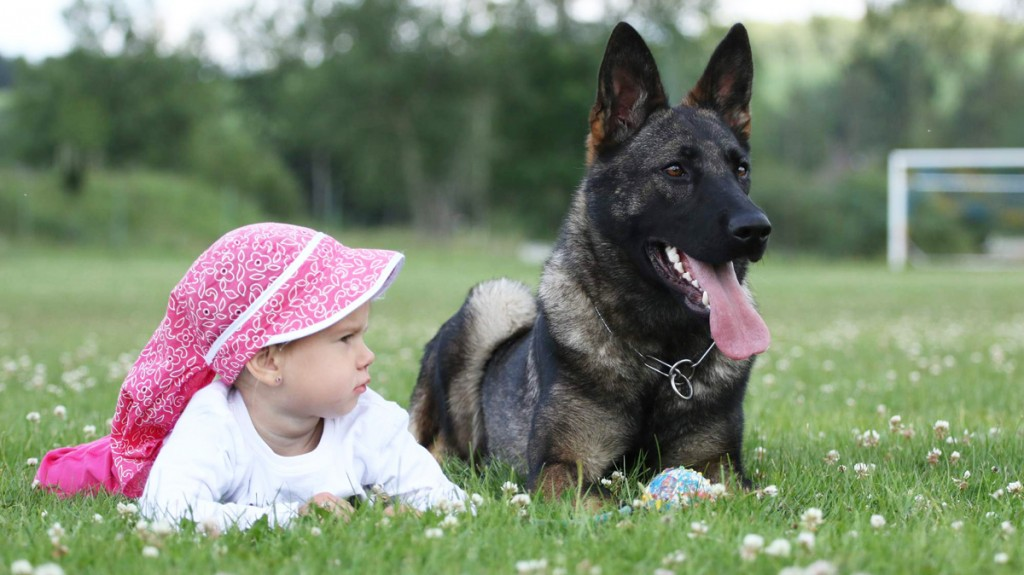 german shepherd protection training protection trained german shepherds for sale red rock k9